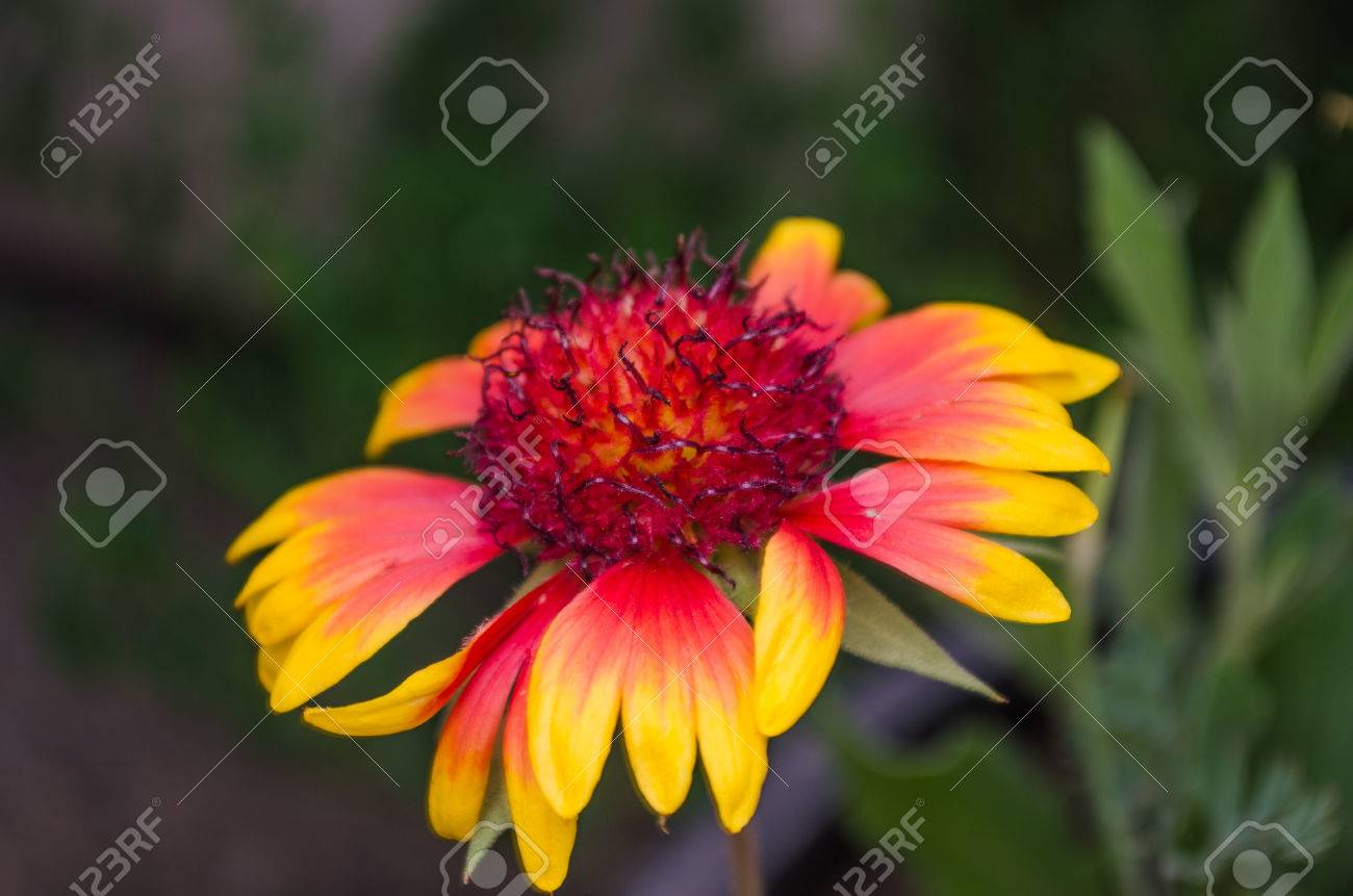 Fire Flower Color Nice Color For Use In Paintings Captured.. Stock ...