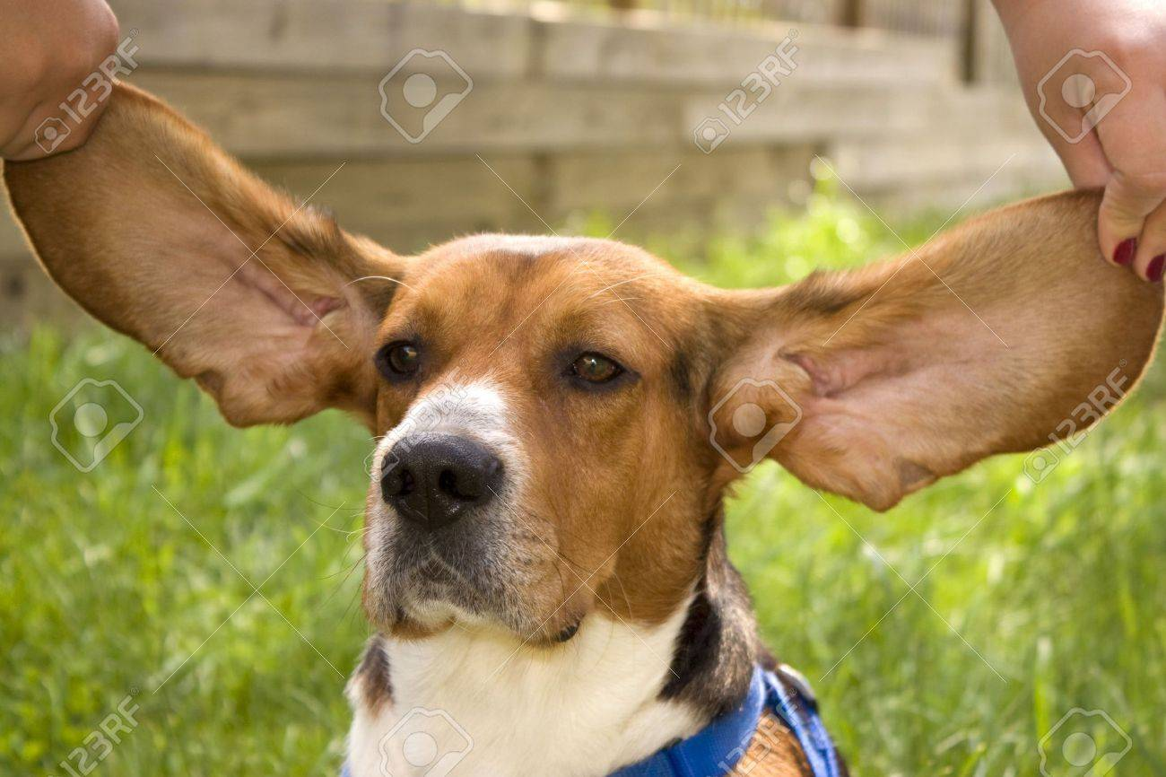 Top Floppy Ears Brown Adorable Dog - 3234193-a-cute-young-beagle-puppy-with-huge-floppy-ears-  Collection_709623  .jpg