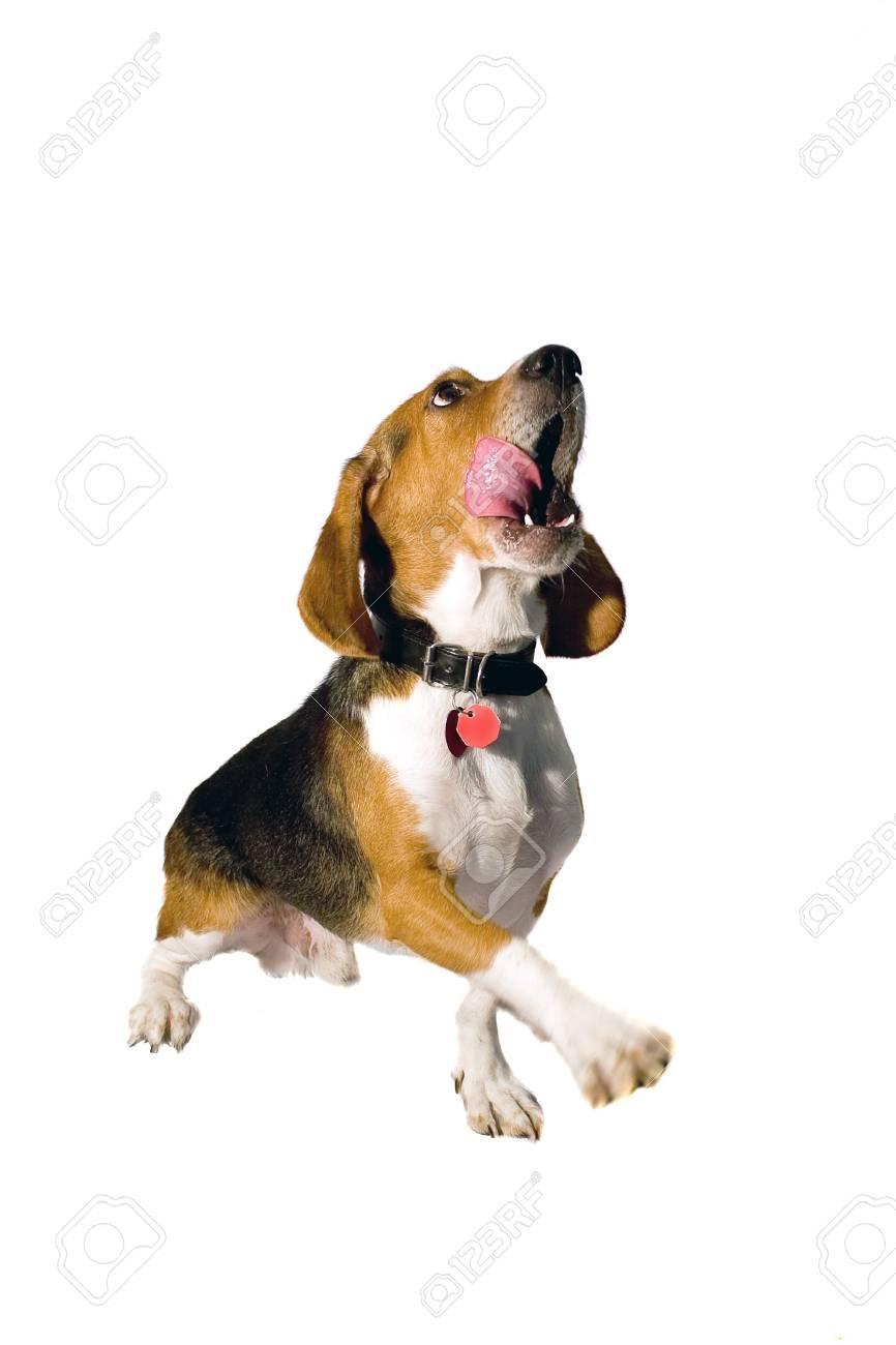 Un Jeune Chiot Beagle Donner Sa Patte Tout En Lechant Sa Bouche Dans La Faim Banque D Images Et Photos Libres De Droits Image 3743001