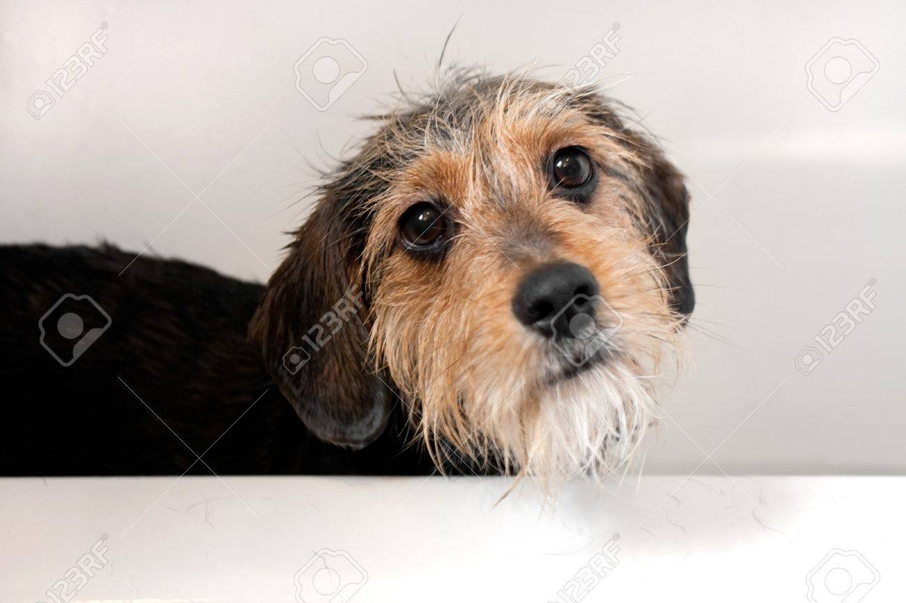 A cute mixed breed dog getting a bath.  Shallow depth of field with sharpest focus on the eyes. Stock Photo - 7300028