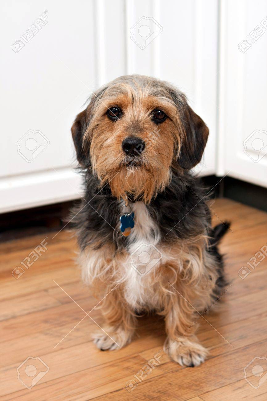 A cute mixed breed Borkie dog. The dog is half beagle and half yorkshire terrier. Stock Photo - 14313135