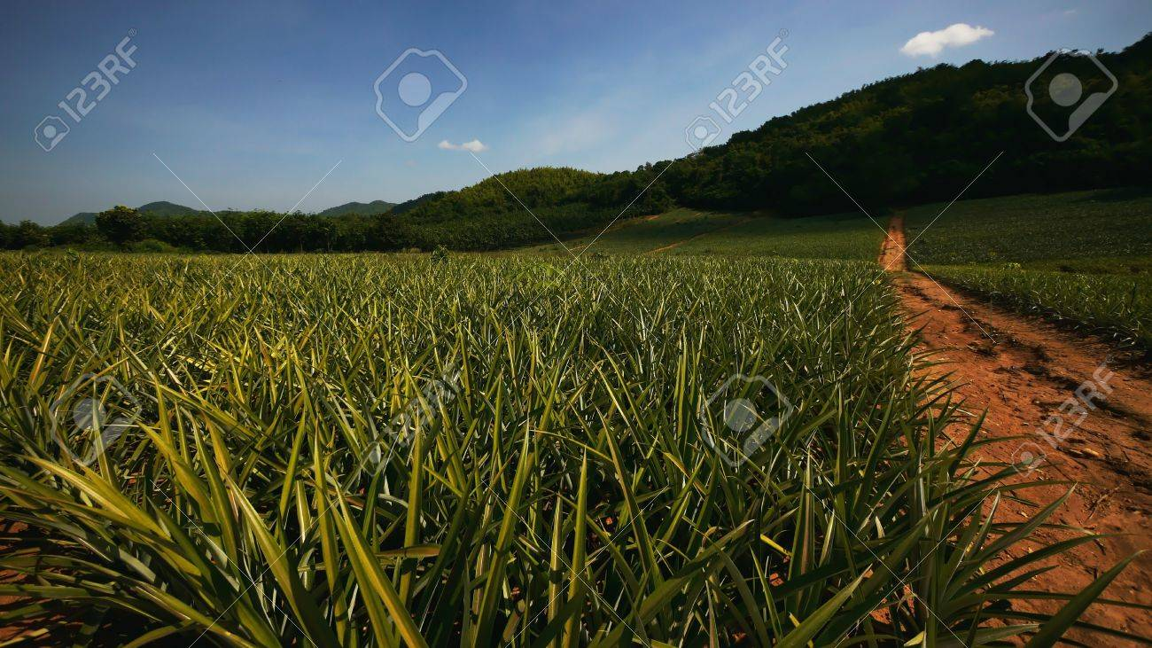 Pineapple Field Stock Photo - 18242467