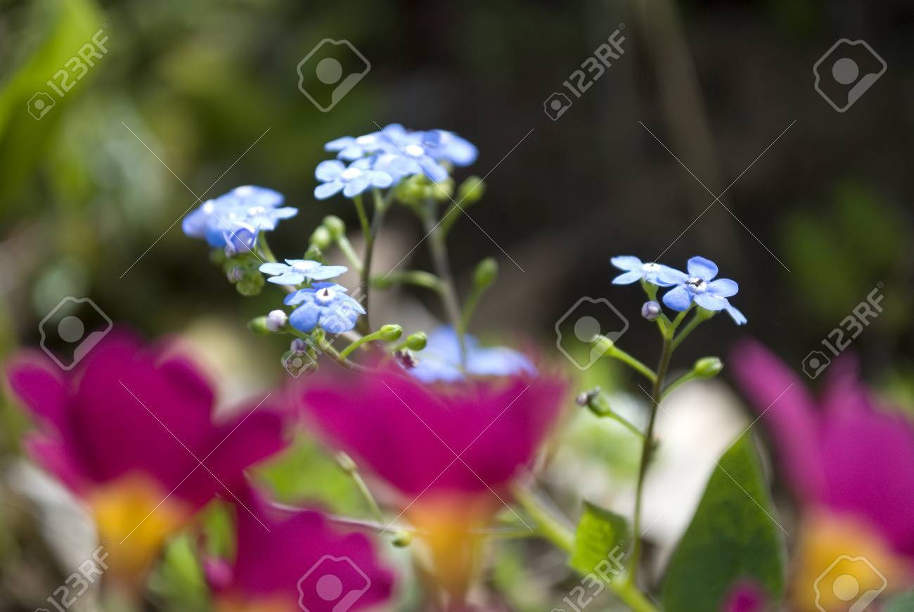 Beautiful Tiny Blue Flowers In Garden Stock Photo Picture And