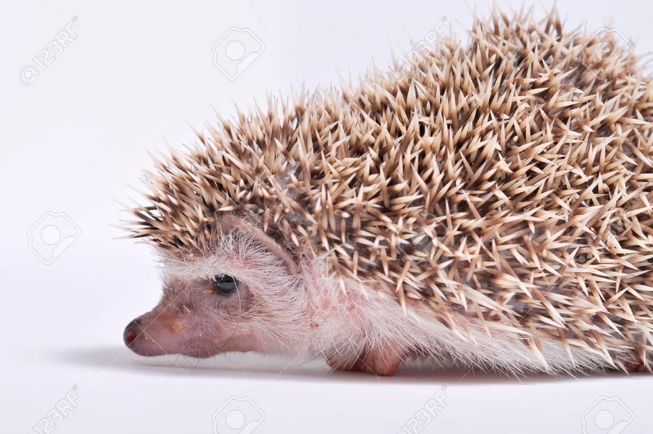 Hedgehog isolate on white background Stock Photo - 16603722