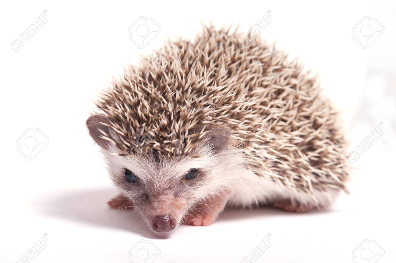 Hedgehog isolate on white background Stock Photo - 17442001