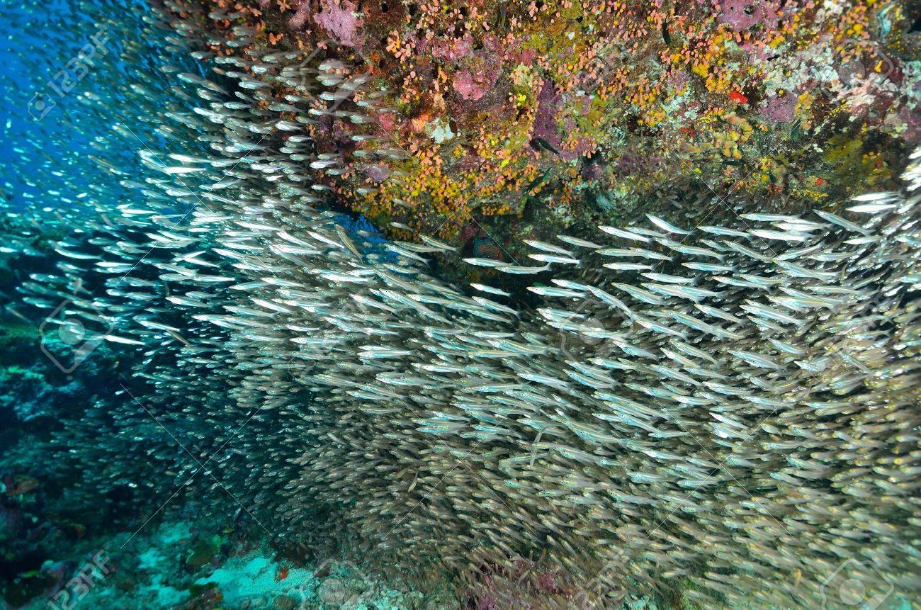 Glassfish (掃除魚) シミラン島...