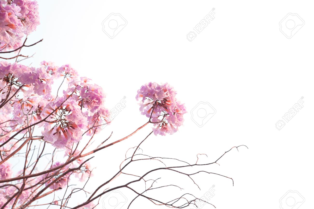Pink flowers pink trumpet trees white background stock photo pink flowers pink trumpet trees white background stock photo 54752900 mightylinksfo