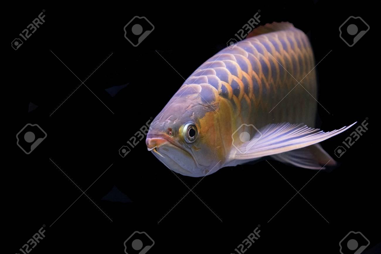 アロワナ魚の概念 背景や壁紙です の写真素材 画像素材 Image