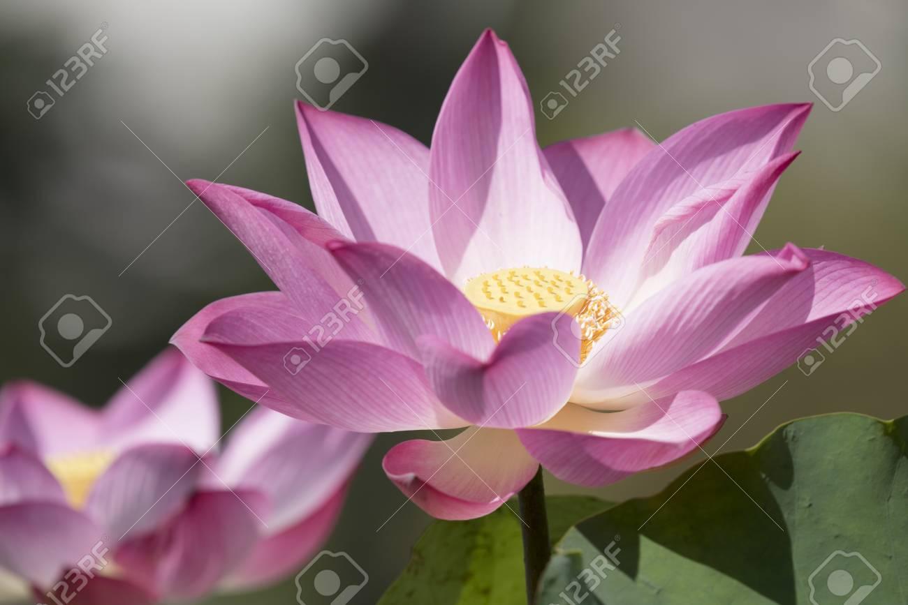 Carta Da Parati Fiori Di Loto : Immagini stock natura di lotus con spazio di copia usando come