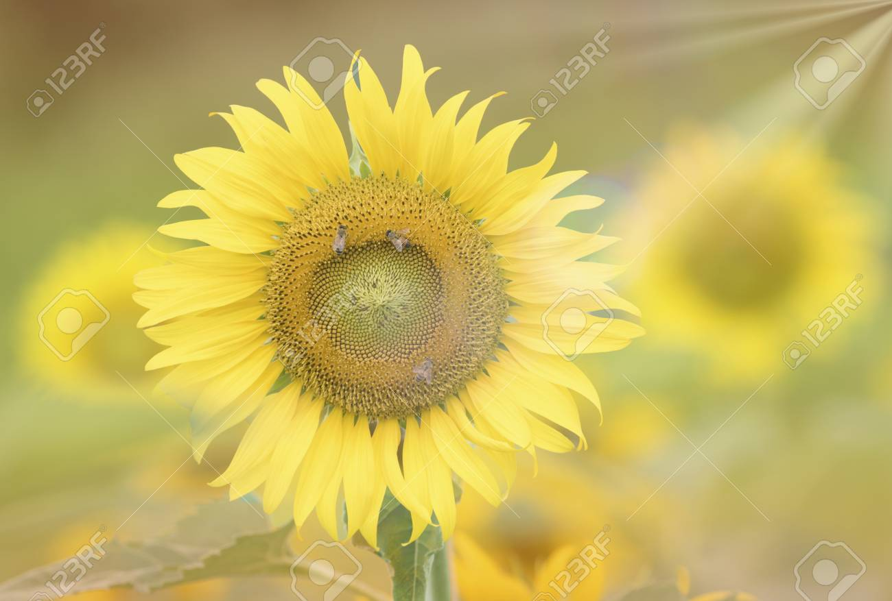 Stock Photo - Sunflower soft blur for background wallpaper.