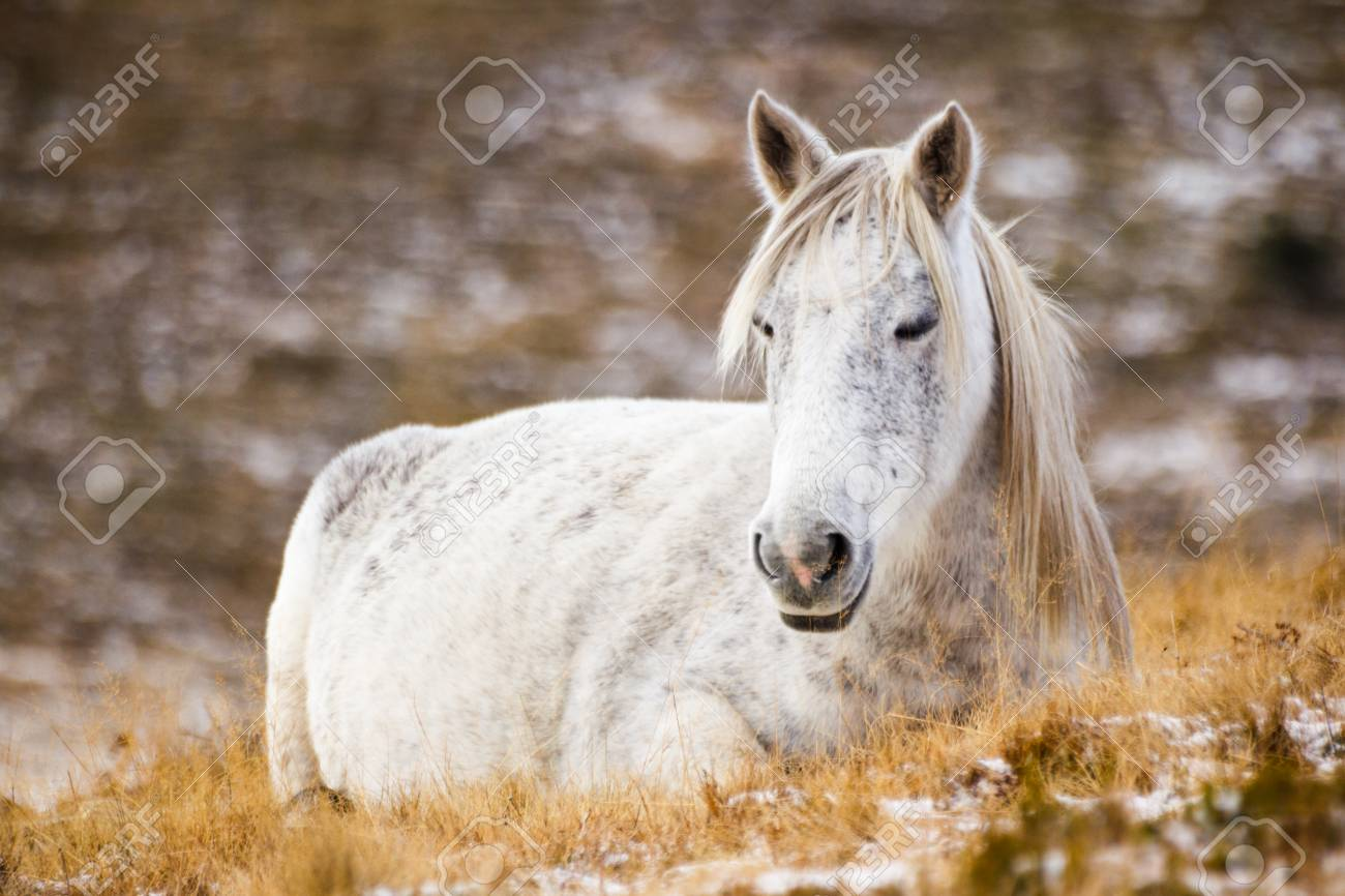 Wild White Mustang Horse Resting In A Snowy Field Stock Photo Picture And Royalty Free Image Image 72184407