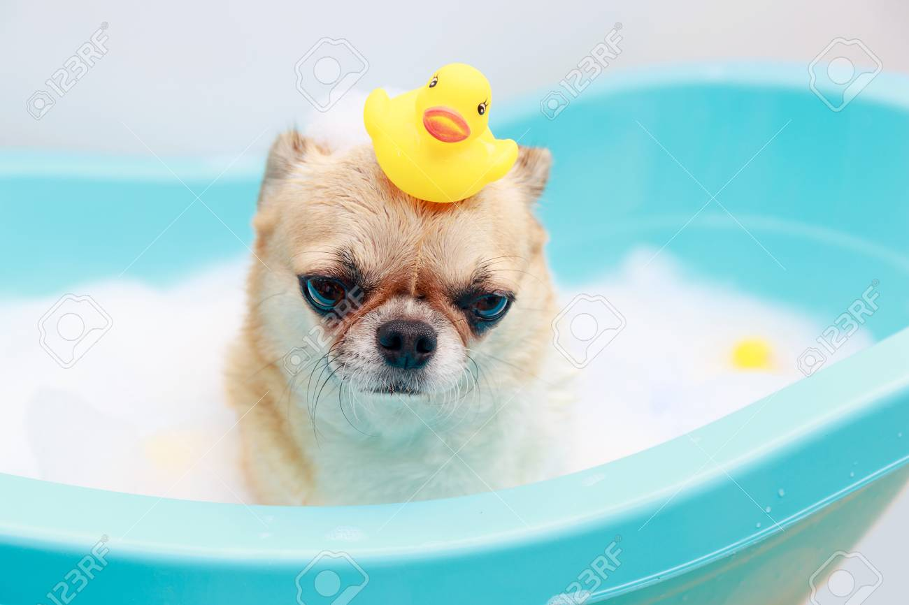 Chihuahua Dog Taking A Shower With Duck Toys In Blue Bucket. Stock Photo    90142776