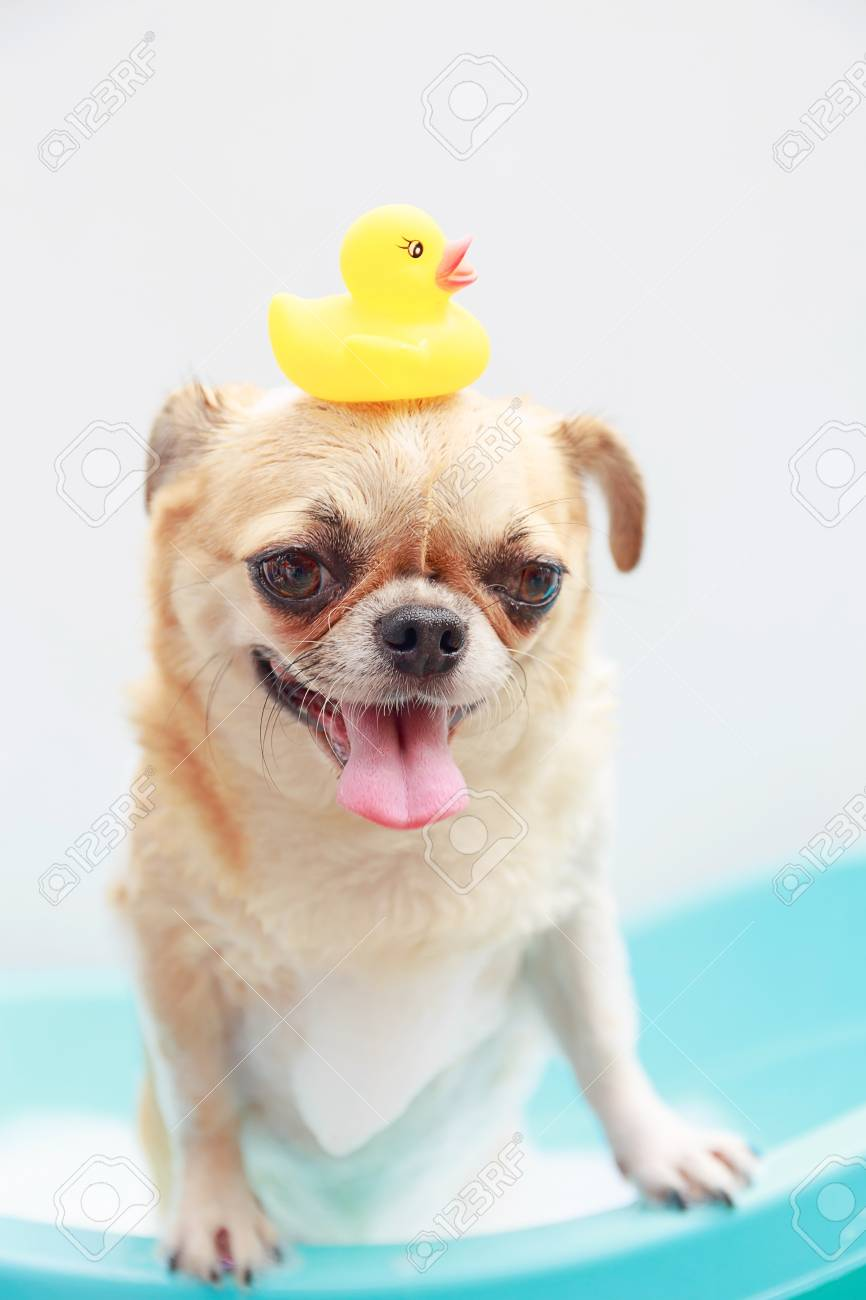 Chihuahua Dog Taking A Shower With Duck Toys In Blue Bucket. Stock ...