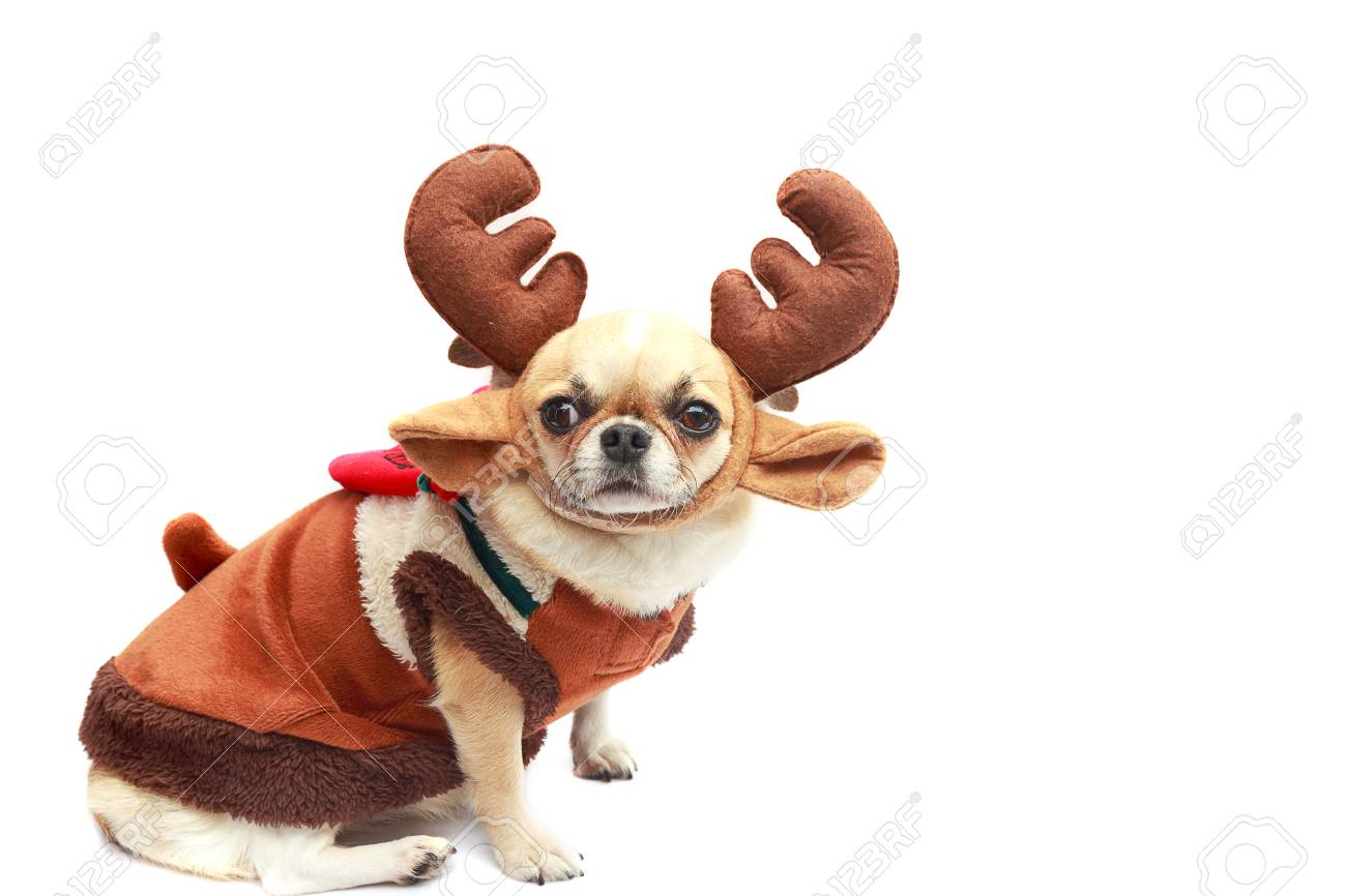Chihuahua Dog With Reindeer Dress On White Background Isolated