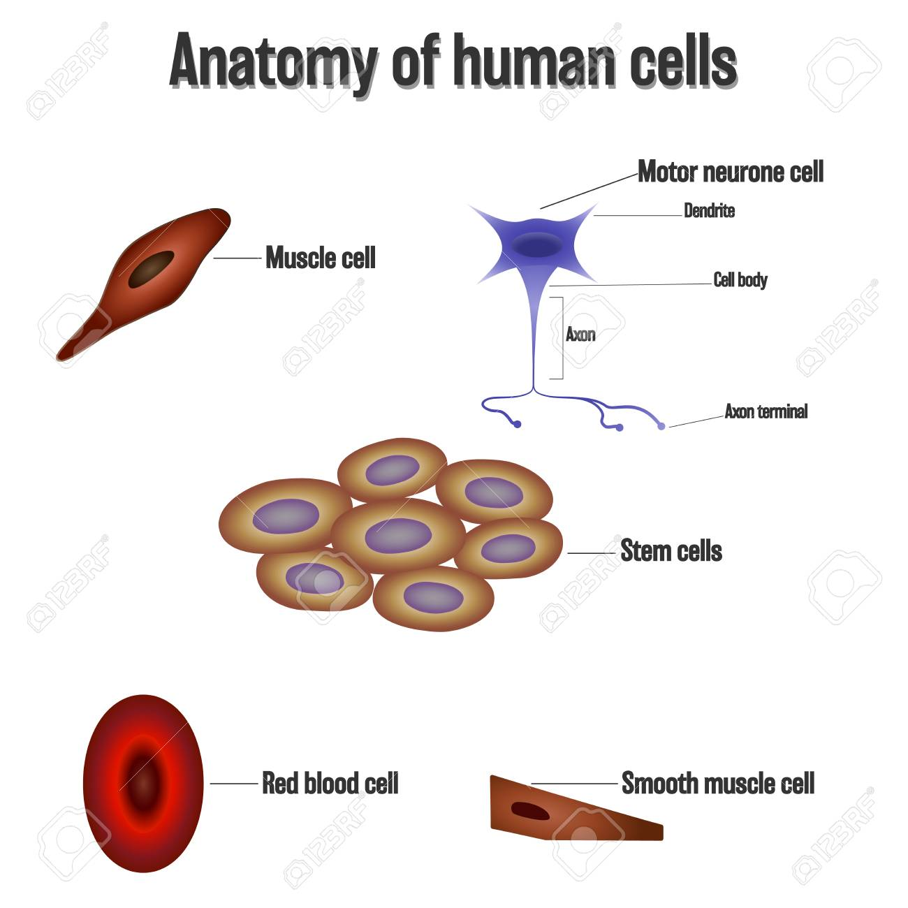 Anatomy Of Human Cells Isolated On White Background As Health