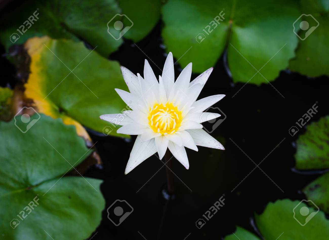 White Lotus Flower Water Lily Stock Photo Picture And Royalty Free
