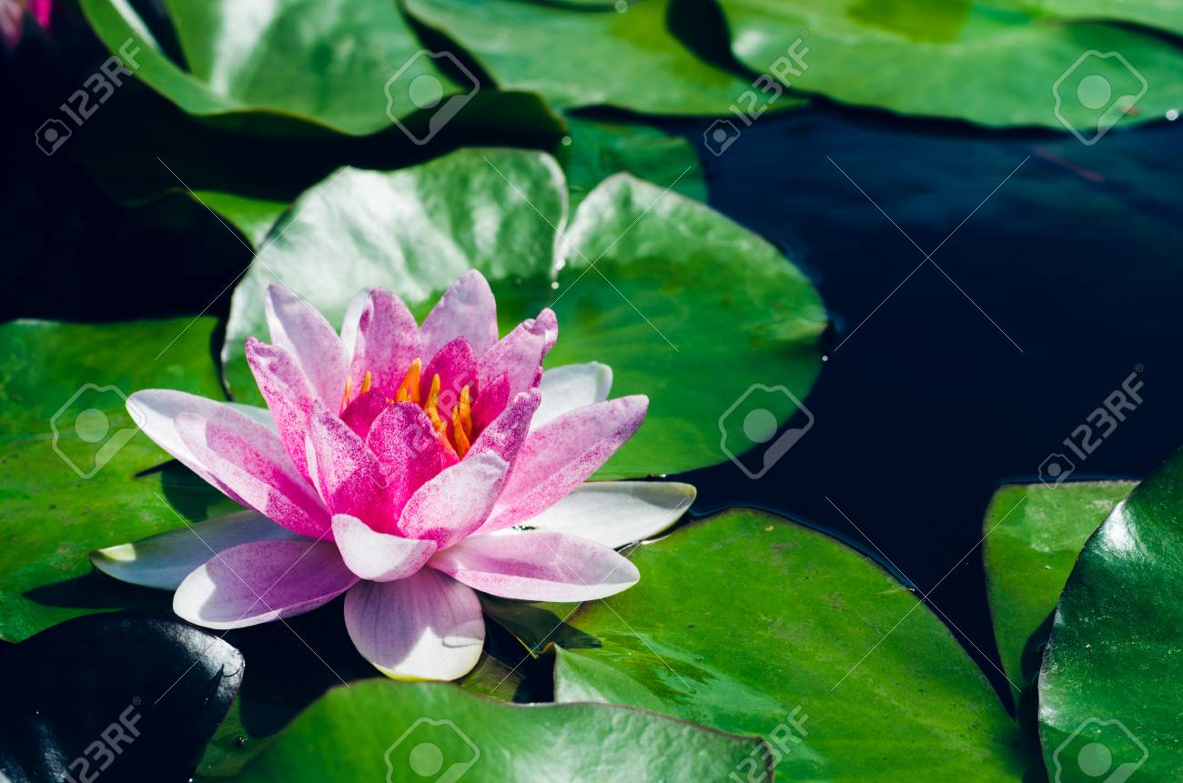 Beautiful Lotus Flower In Pond Stock Photo Picture And Royalty Free
