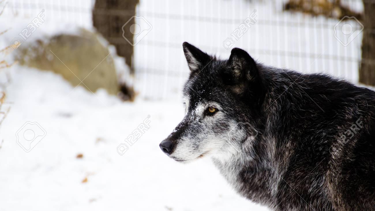 灰色の狼の肖像 ロイヤリティー...