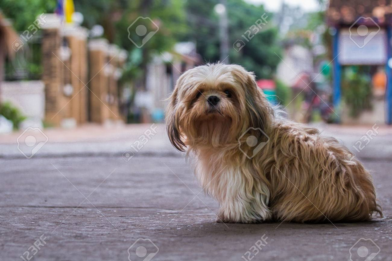 Brown Maltese Dog Stock Photo Picture And Royalty Free Image Image 52895173