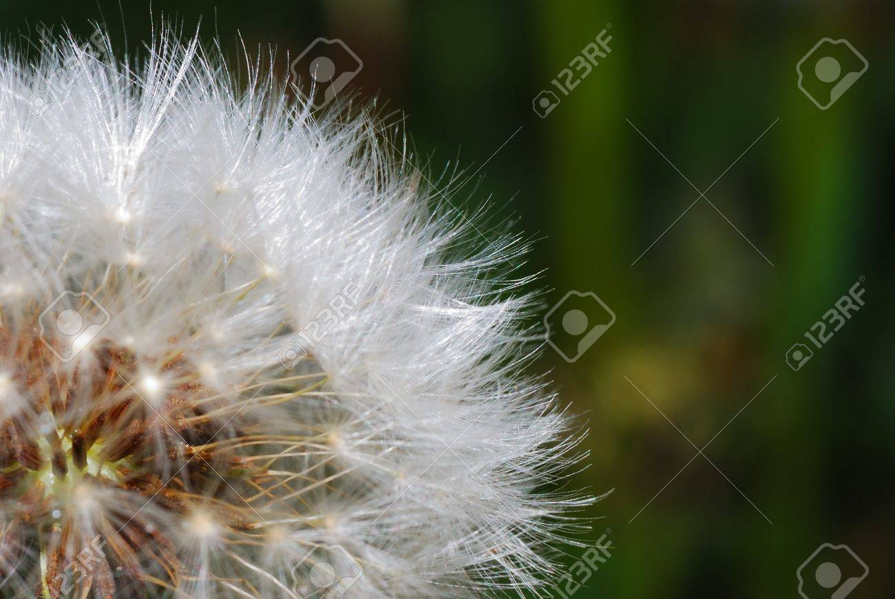 full soft fresh blowball dandelion in the spring stock photo