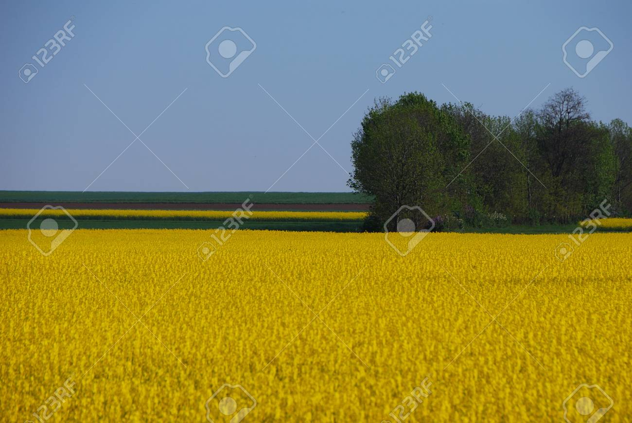 nice fresh yellow rape field and forest in spring Stock Photo - 15522943