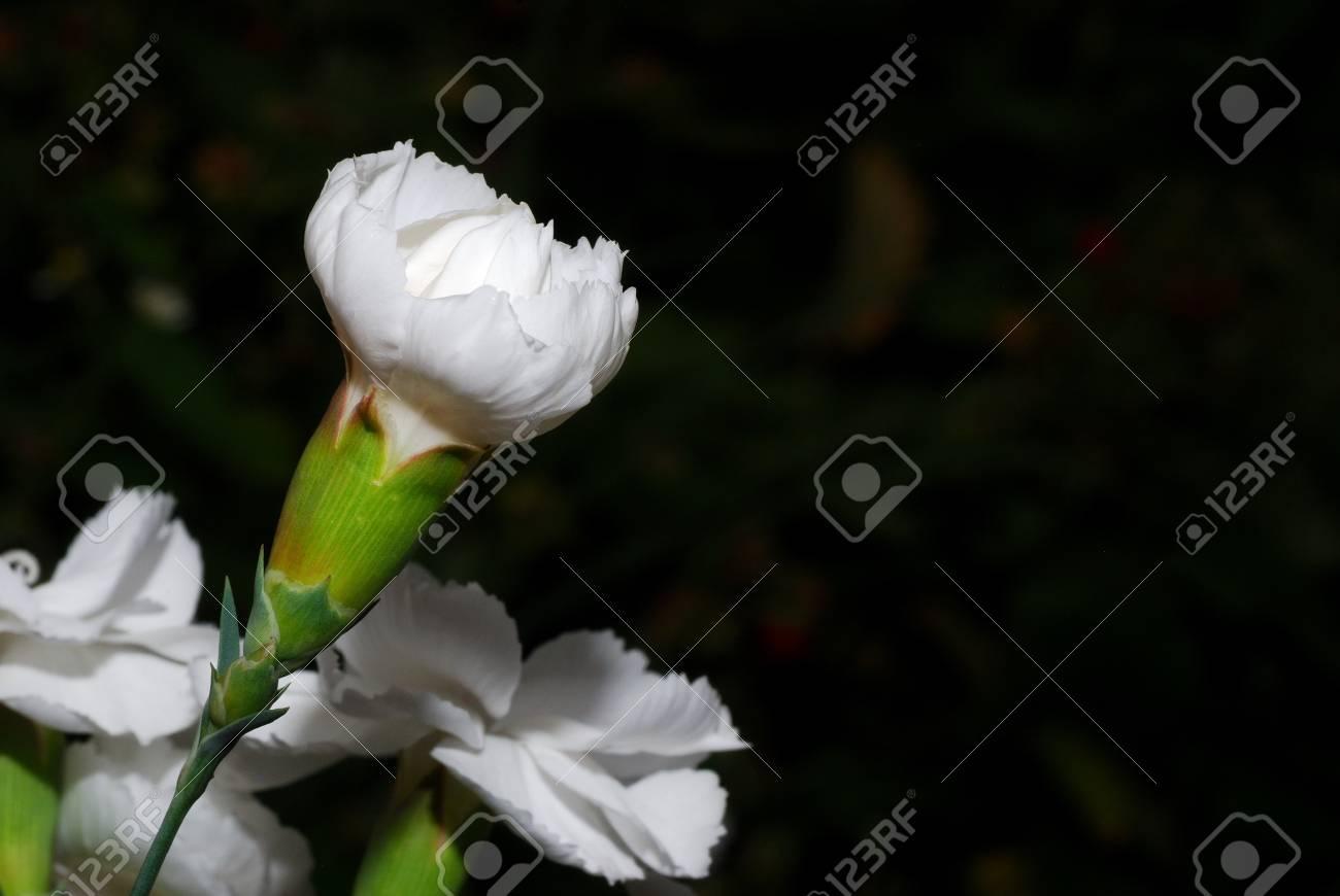 Fresh white flowers with dark background in the garden and summer fresh white flowers with dark background in the garden and summer stock photo 17911542 mightylinksfo