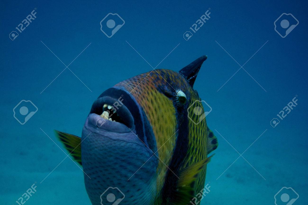 giant triggerfish very close to the dive in the sea Stock Photo - 24593948