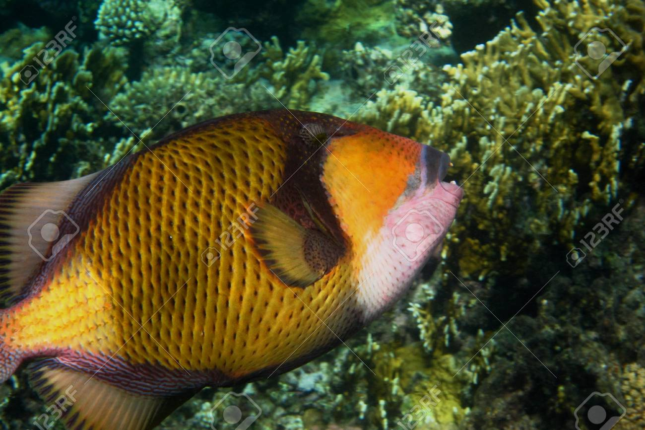 giant triggerfish in the red sea during dive Stock Photo - 24593951