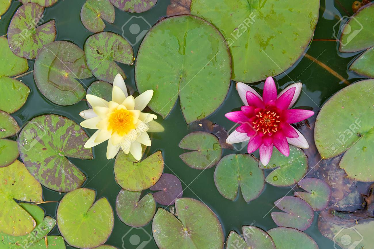 Lily Pads Flower Gallery Flower Wallpaper Hd