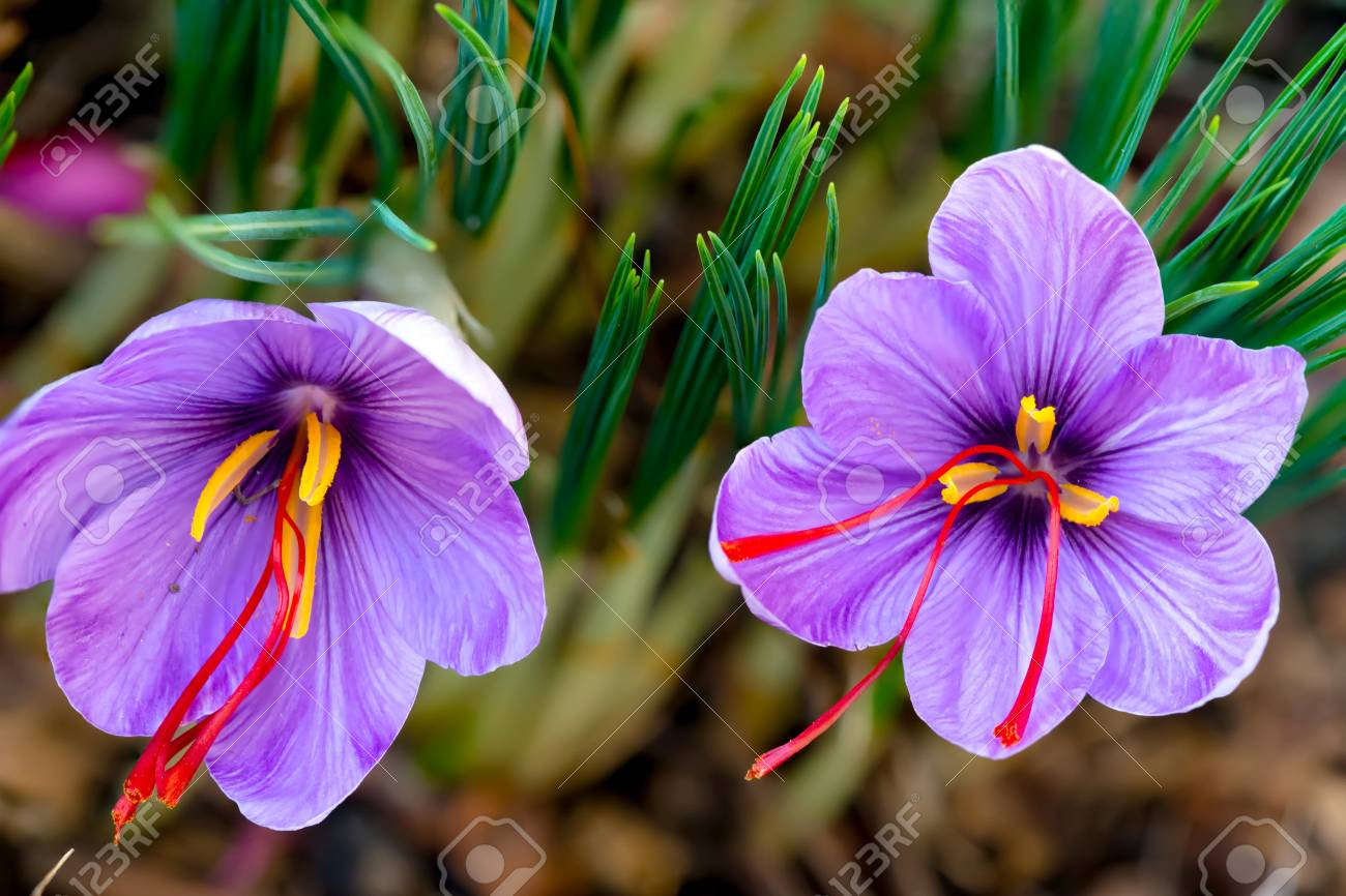 Saffron Is A Spice Derived From The Flower Of Crocus Sativus... Stock  Photo, Picture And Royalty Free Image. Image 111837059.