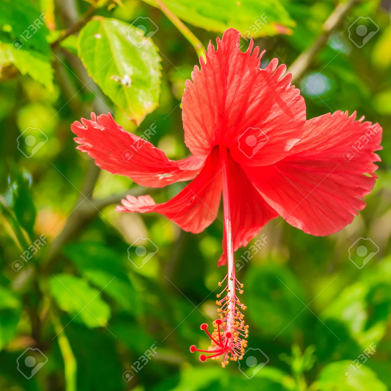 The Brilliant Red Flower Of An Hibiscus Glowing In The Sun Stock