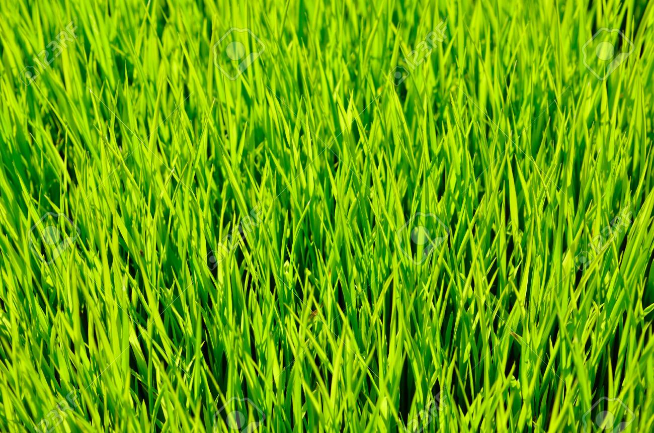 Terrace green rice fields, Northern of Thailand Stock Photo - 12502511