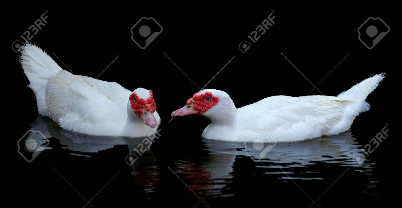 Two white muscovy ducks swim in pond  Black water and wave reflection