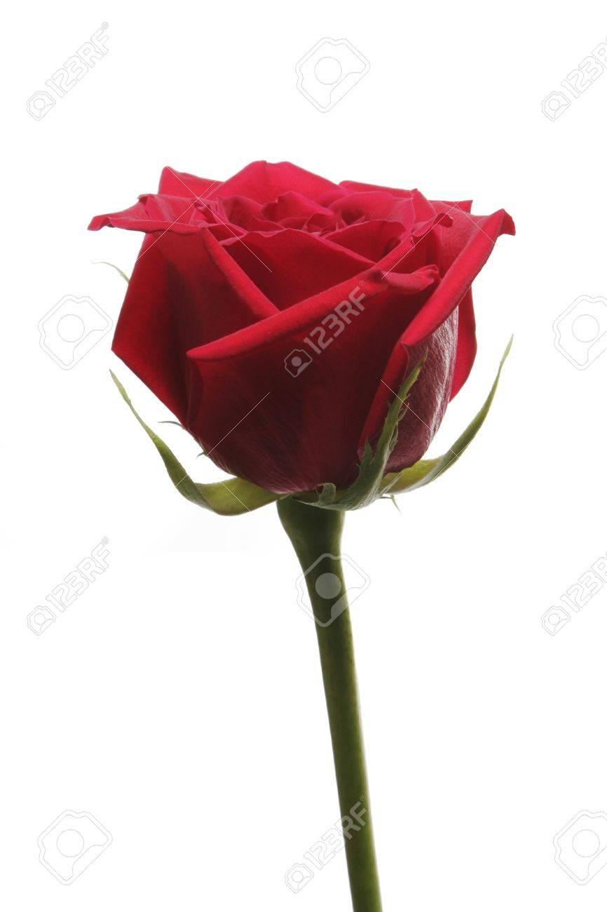 unique fleur rose rouge avec une longue tige sur fond blanc banque