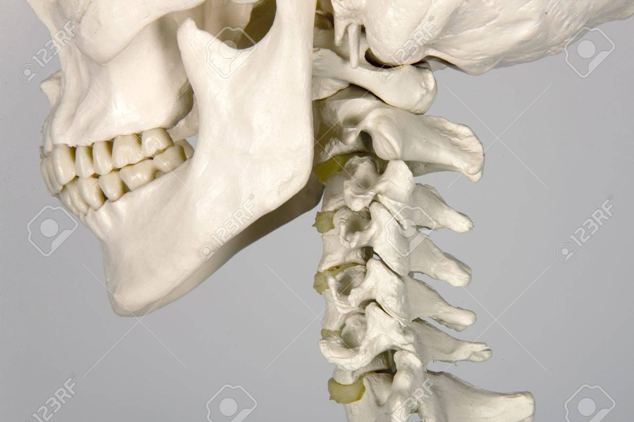 Schädel Anatomie Des Menschen Lizenzfreie Fotos, Bilder Und Stock ...