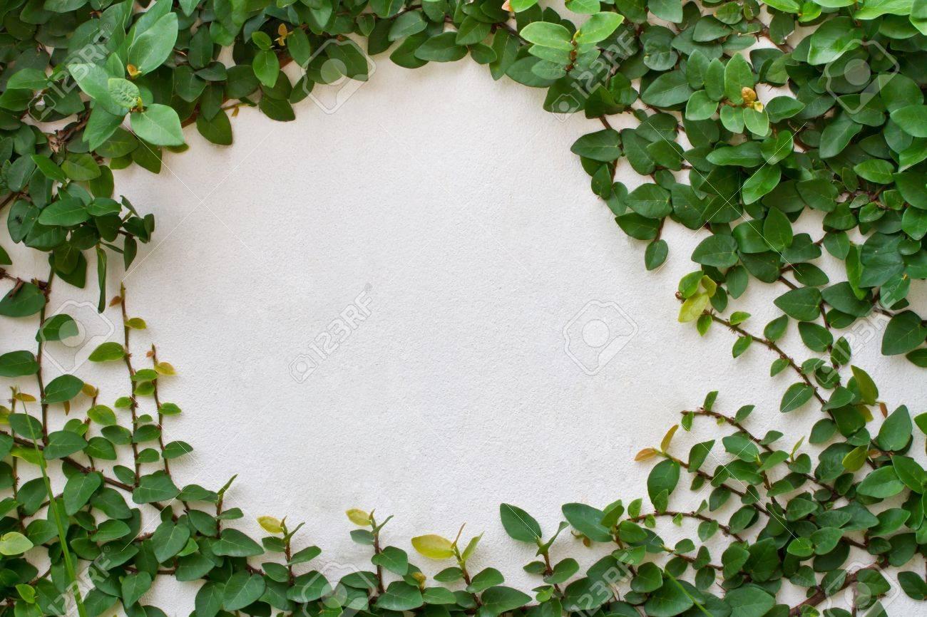 Green creeper plant on white background Stock Photo - 15257722
