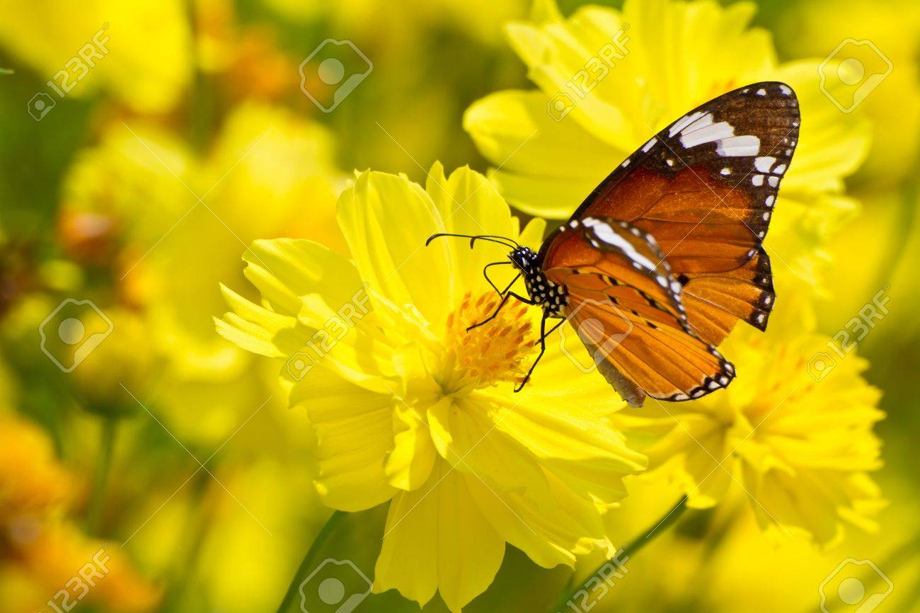 Yellow cosmos flowers and butterfly Stock Photo - 15987986