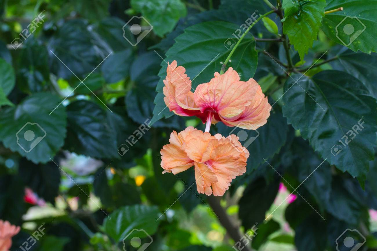 hibiscus schizopetalus, coral hibiscus, fringed rosemallow, Beautiful flower