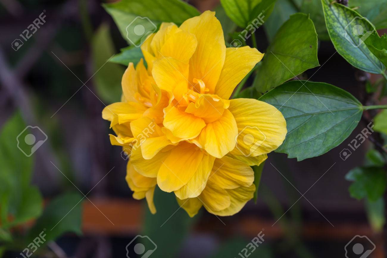 Yellow Double Hibiscus Flower And Leaves Stock Photo Picture And