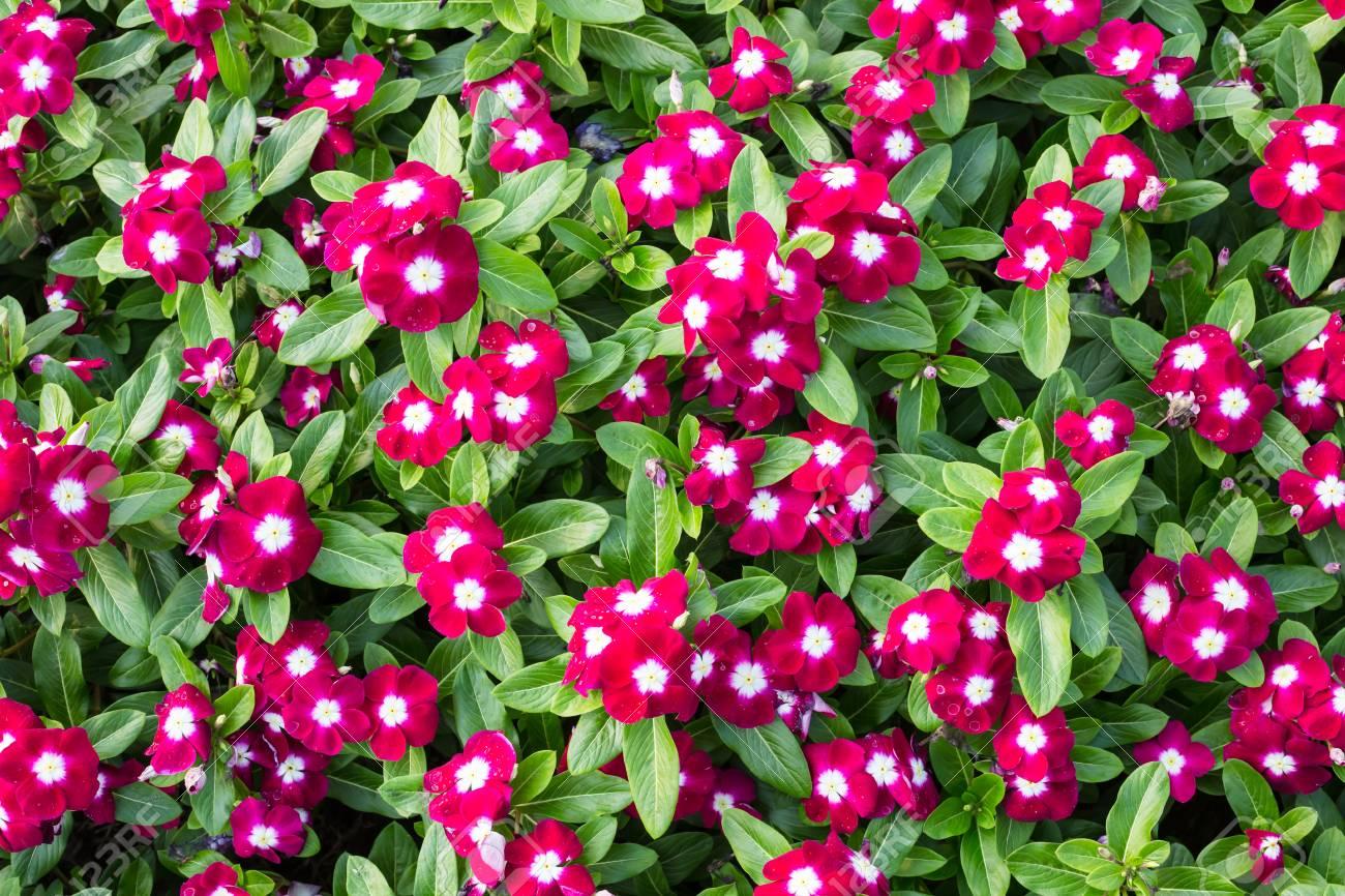 Madagascar or periwinkle or vinca flower taken as background stock madagascar or periwinkle or vinca flower taken as background stock photo 50374849 izmirmasajfo Gallery