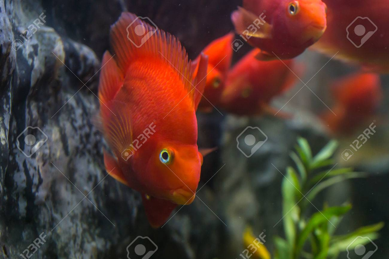 Blood Parrot Cichlid Well Known As Bloody Parrot And Blood Parrot ...