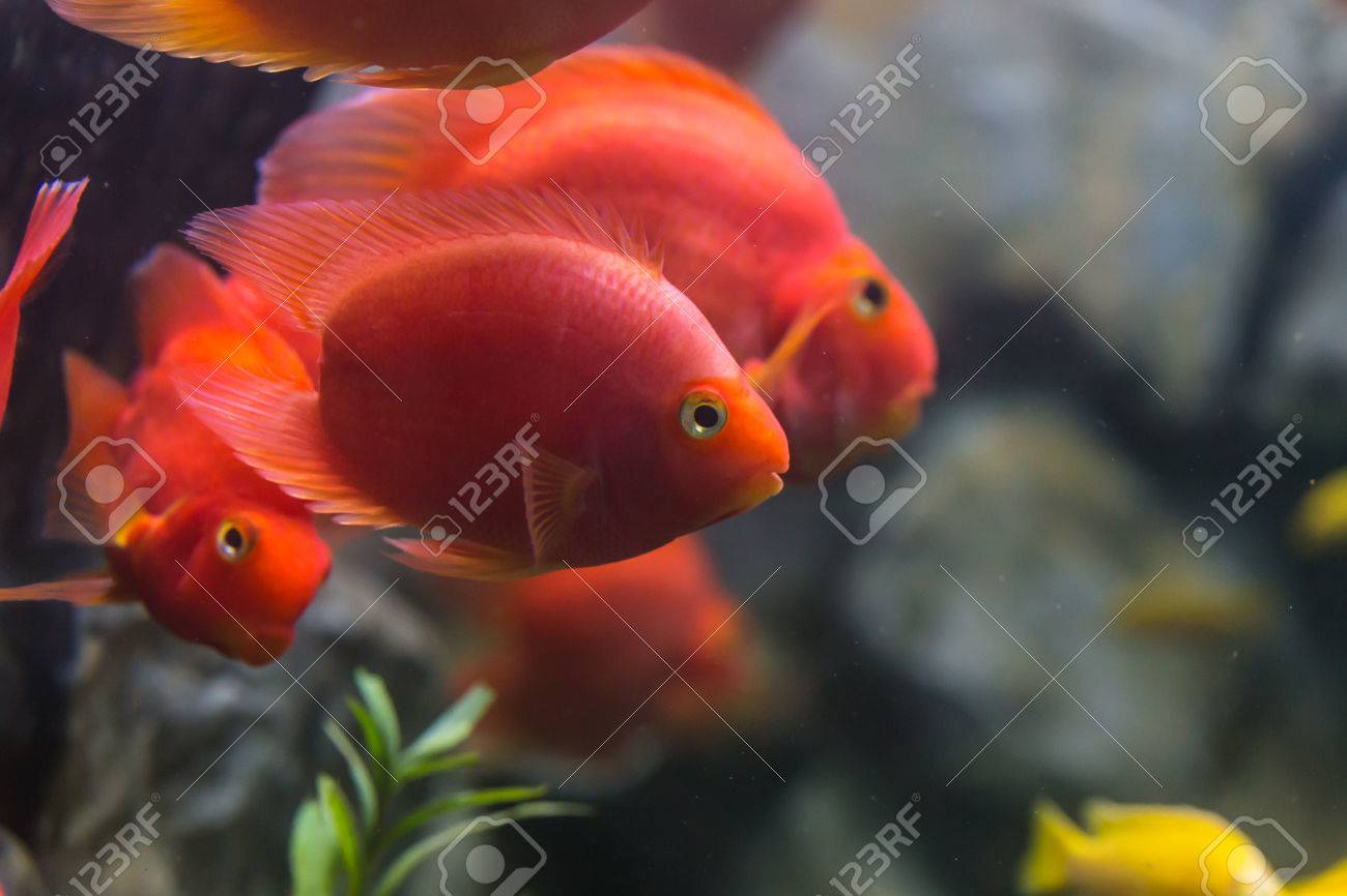 Love Heart Blood Parrot Cichild Fish In Aquarium Stock Photo ...