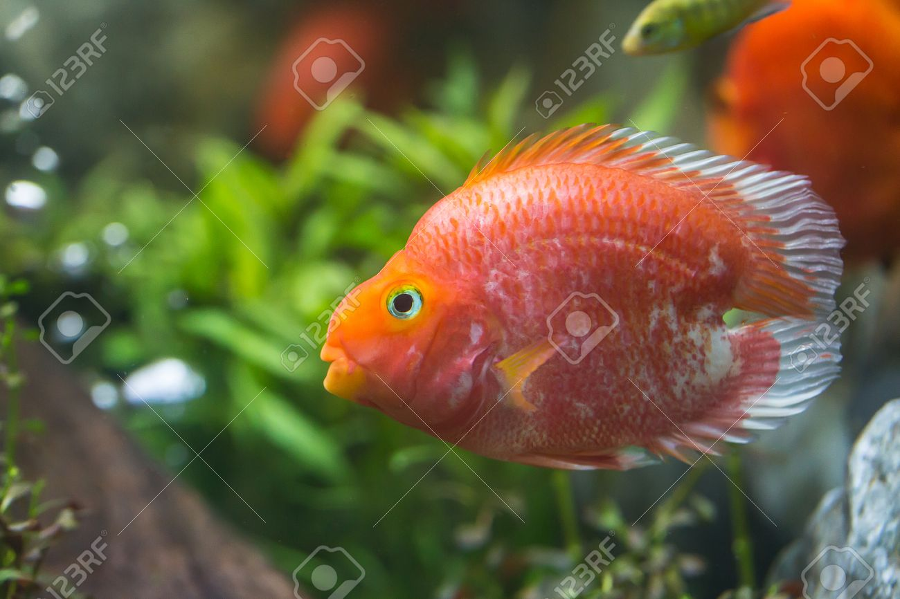 Love Heart Blood Parrot Cichild Fish In Aquarium Stock Photo ...