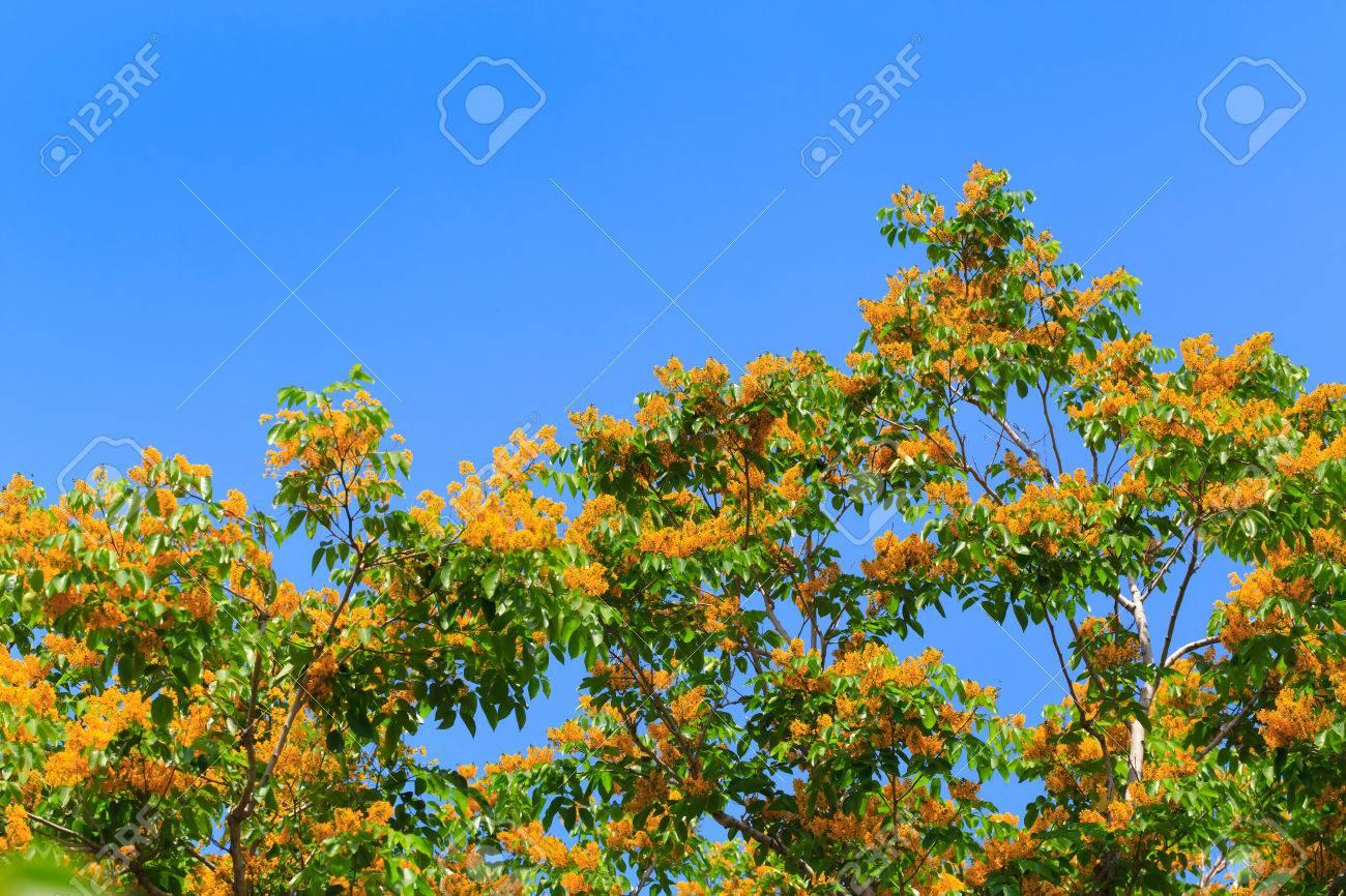 Burma Padauk Blooming On Tree Yellow Flowers Stock Photo Picture