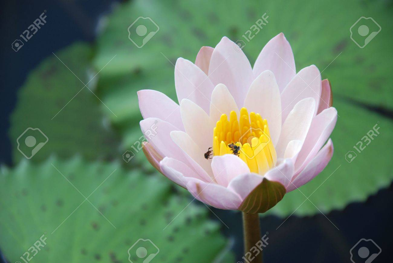 Water Lily Scent Of Asian Exotic Flower Stock Photo Picture And
