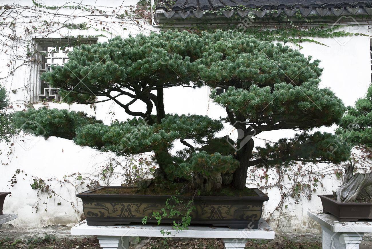 Beautiful Bonsai Pine Tree In Traditional Chinese Garden Stock Photo    11466839