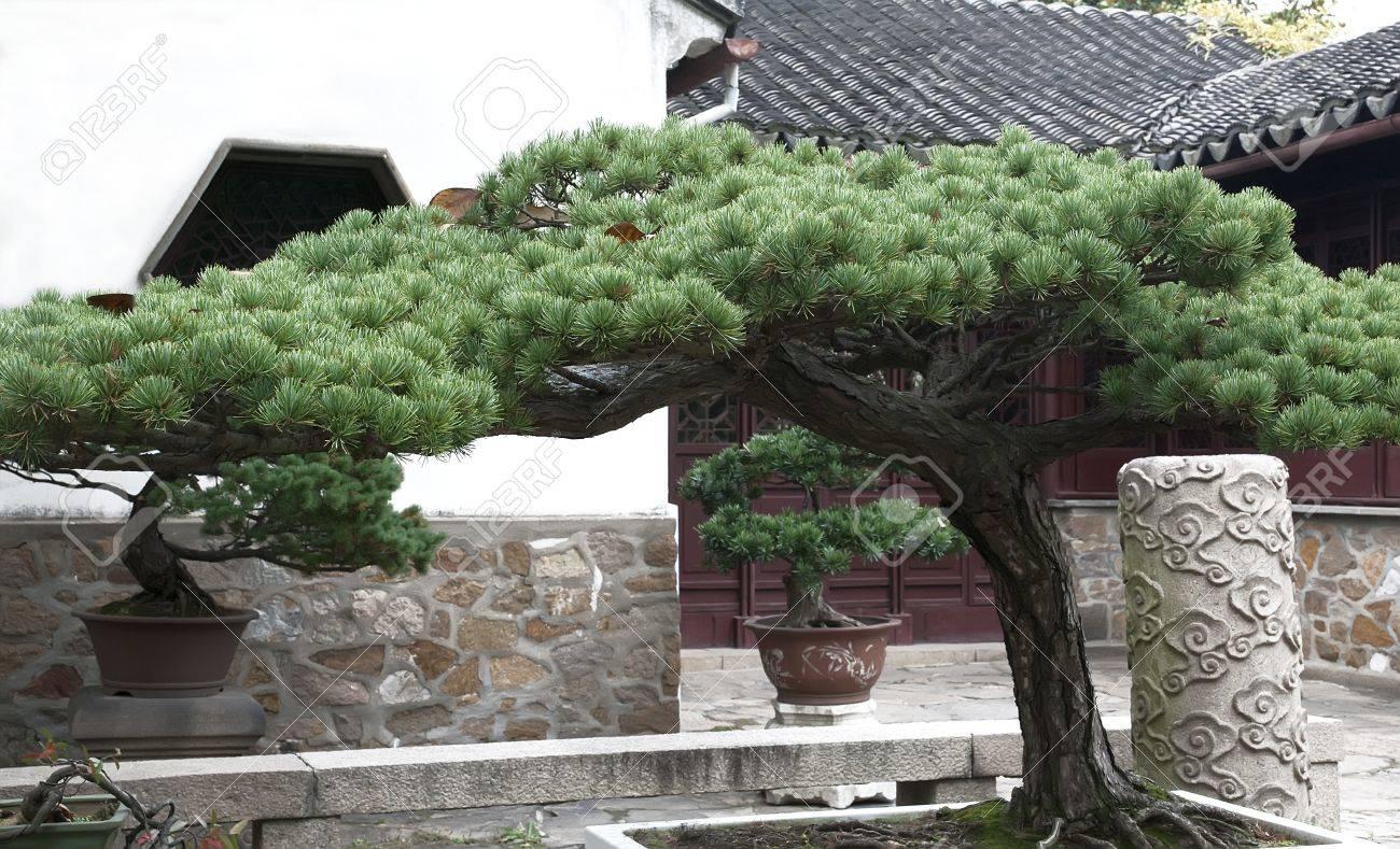 Beautiful Bonsai Pine Tree In Traditional Chinese Garden Stock Photo    11466831