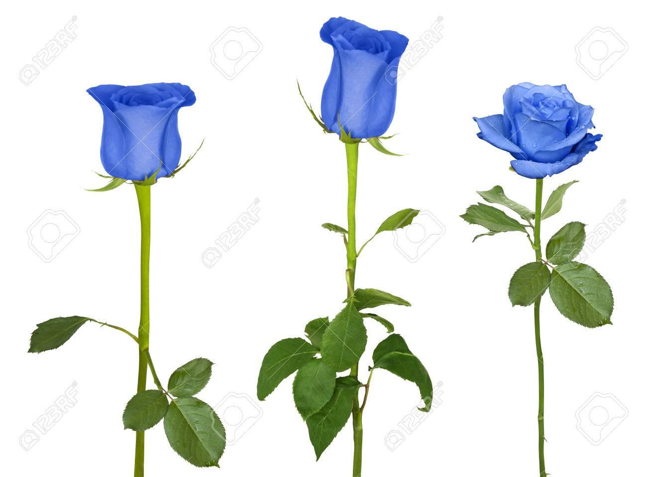 Belle Image Rose Bleu belle rose bleu isolé sur fond blanc banque d'images et photos
