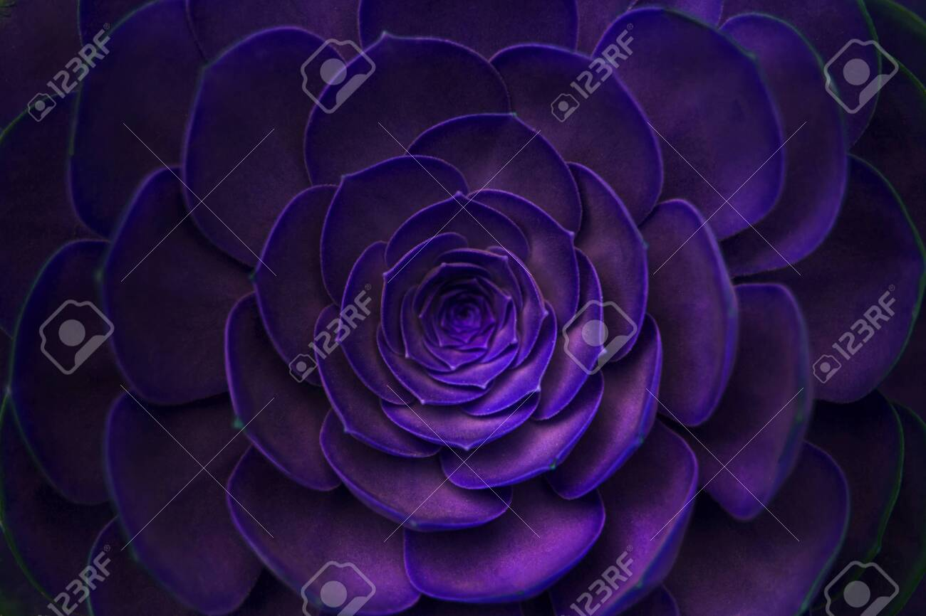 Purple Fabulous Background Succulent Plant Ecology And Nature Stock Photo Picture And Royalty Free Image Image 133807923