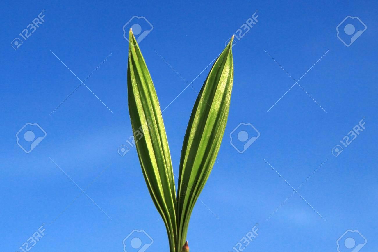 Coconut seedlings Stock Photo - 13250465